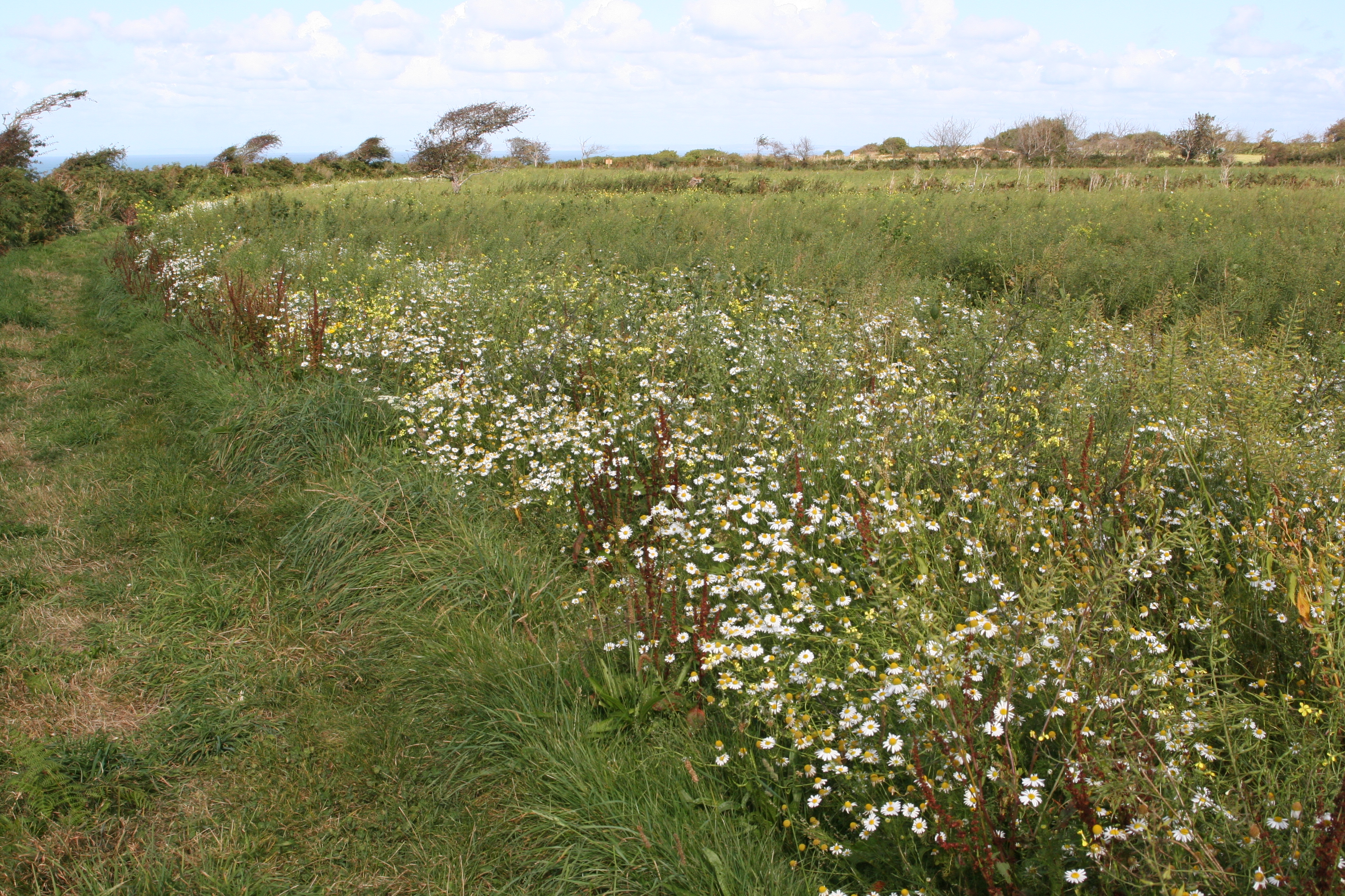 Conservation crop in field on Jersey's north coast. Photo by Cris Sellares