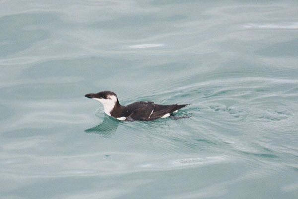 Razorbill. Photo by Mick Dryden