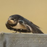 Barn swallow. Photo by Mick Dryden