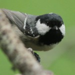 Coal tit. Photo by Regis Perdriat