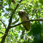 Long-eared owl chick in Fern Valley. Photo by Jonny Parkes