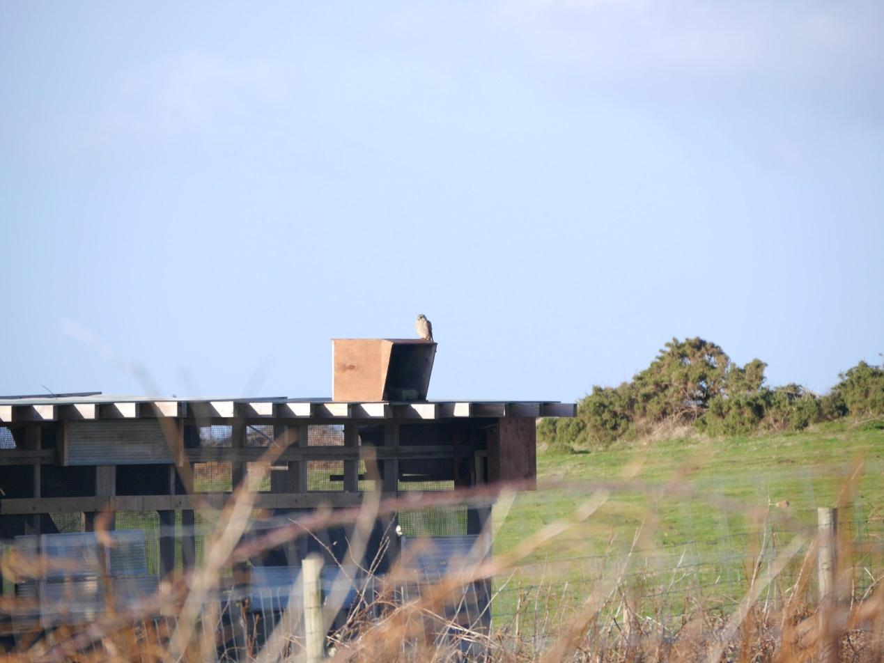The kestrel making use of the external chough shelters on the release aviary. Photo by Liz Corry