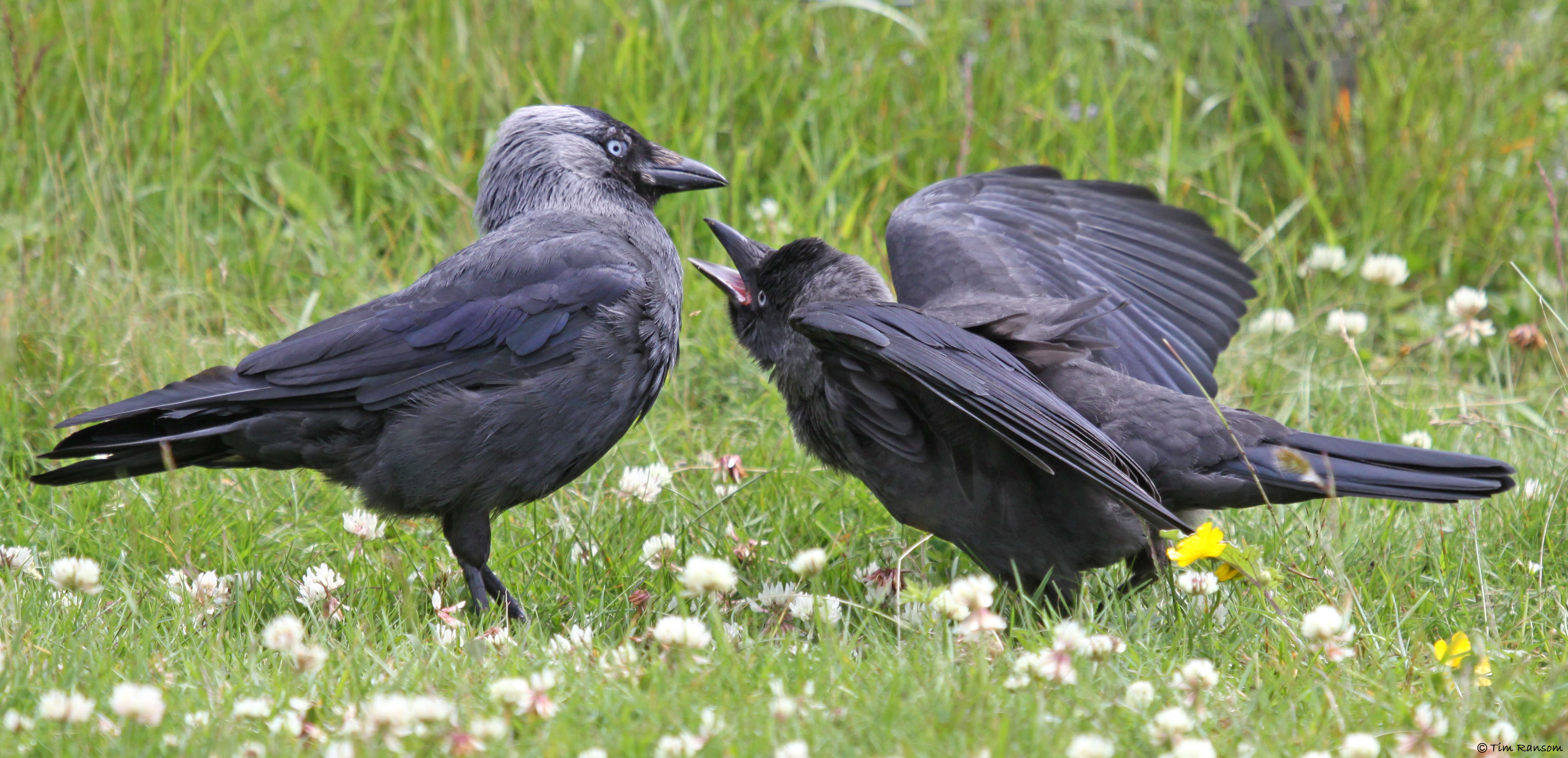 Jackdaw in Jersey. Photo by Tim Ransom.