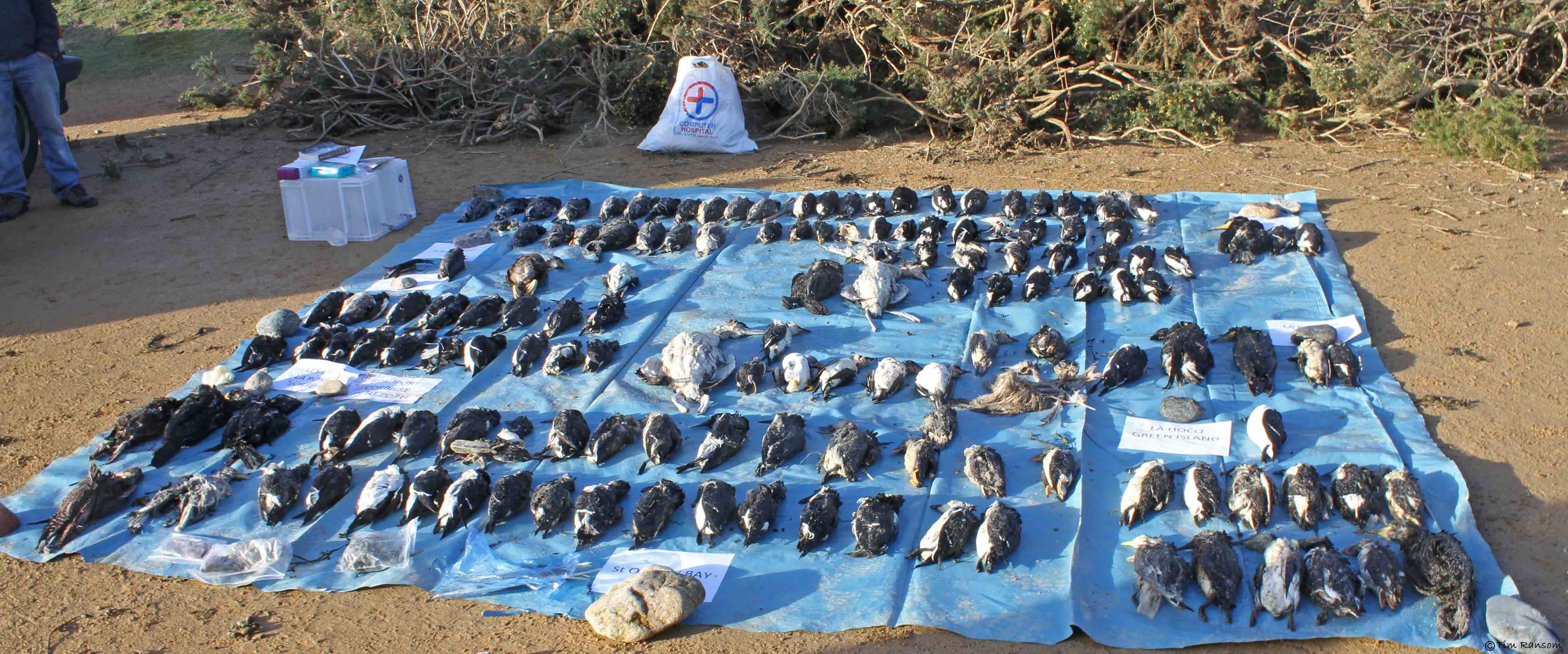 Dead seabirds collected in Jersey on 16th February 2014. Photo by Tim Ransom