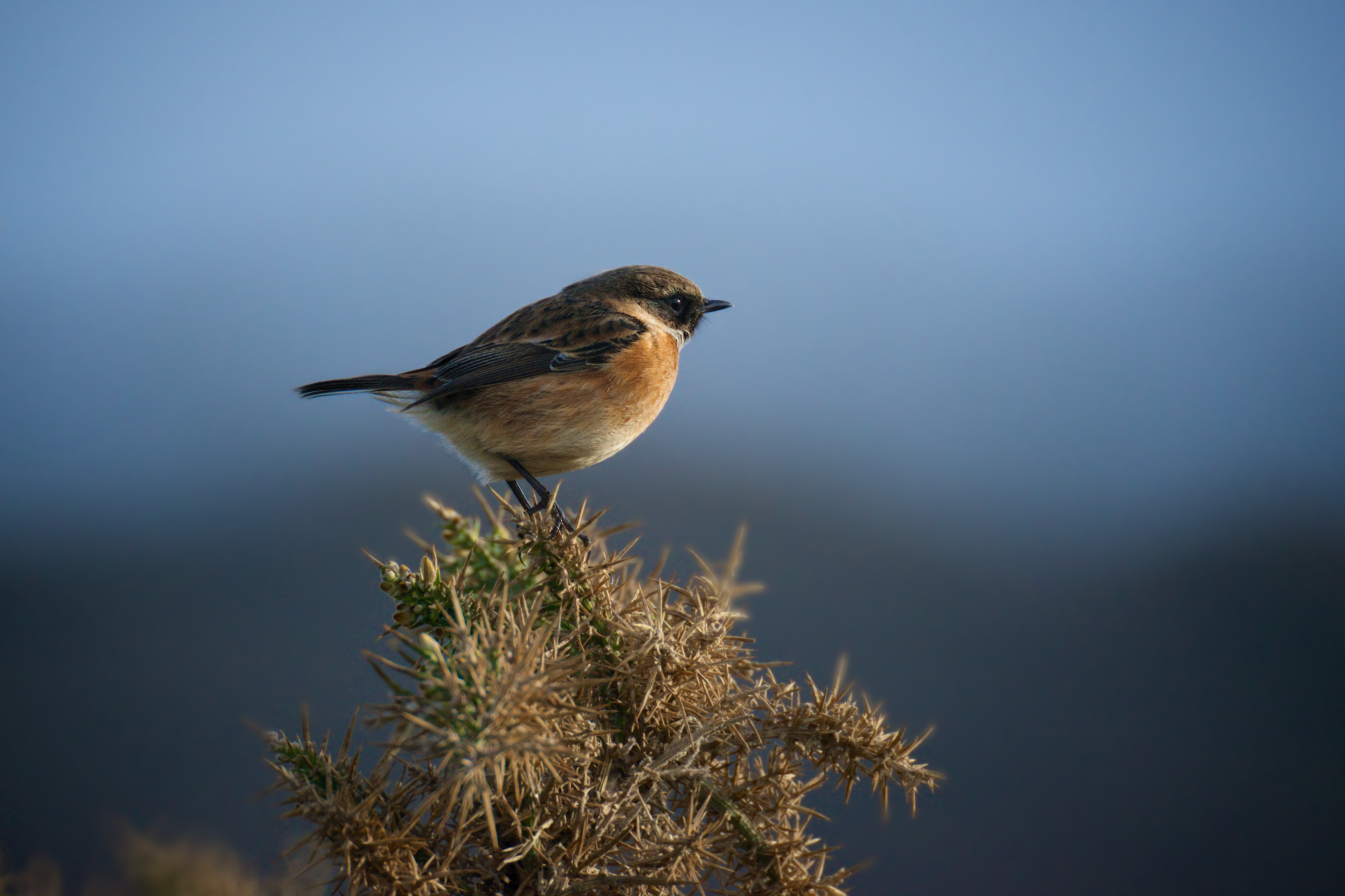 Stonechat 2-2014. Photo by Paul Marshall