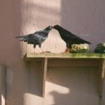 Tristan feeding his new partner as part of their courtship display. Photo by Liz Corry