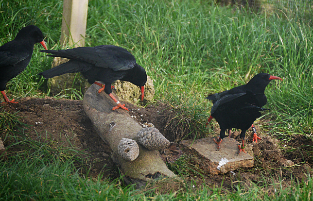 Choughs searching for insects hidden by keeper. Photo by Liz Corry