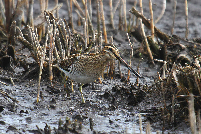 Common snipe. Photo by Mick Dryden