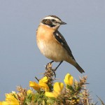 Whinchat. Photo by Mick Dryden