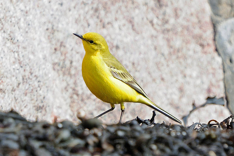Yellow wagtail. Photo by Romano da Costa