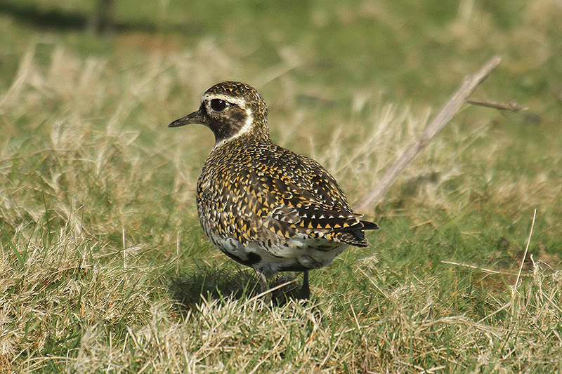 Golden plover. Photo by Mick Dryden