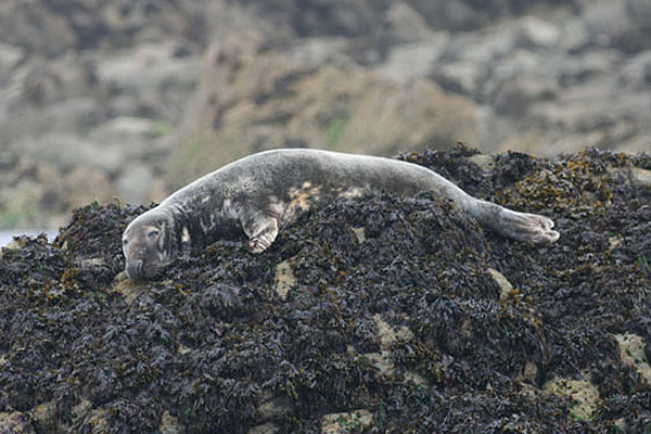 Atlantic grey seal. Photo by Regis Perdriat