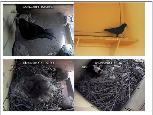 Nesting choughs. Photos by Liz Corry and Catherine Francescon