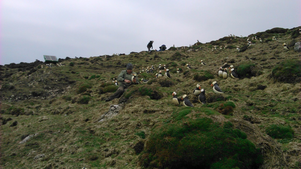 Puffin decoys on Ramsey Island 2014. Photo by Greg Morgan