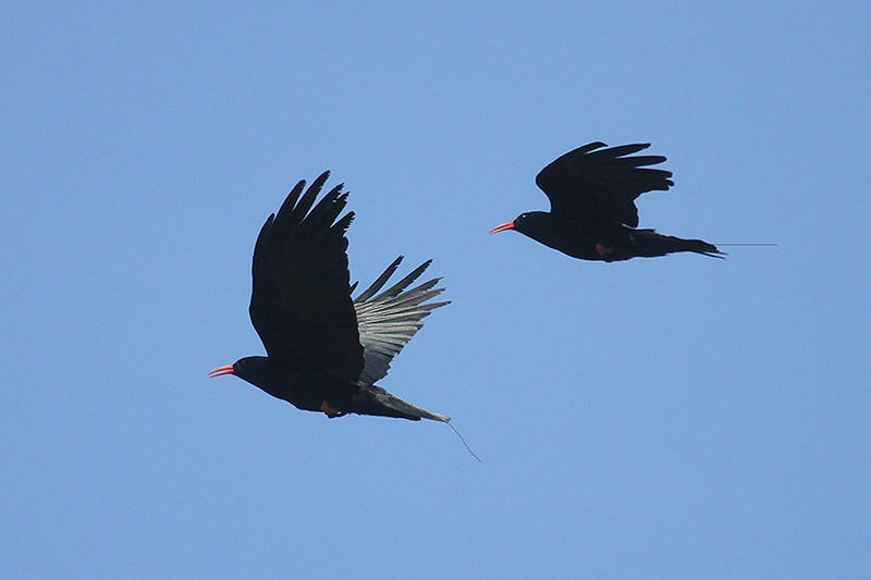 Red-billed choughs. Photo by Mick Dryden