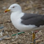 Lesser black-backed gull B0AJ2. Photo by Paul Veron