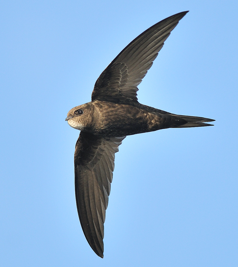 Common swift. Photo by Derek Moreton