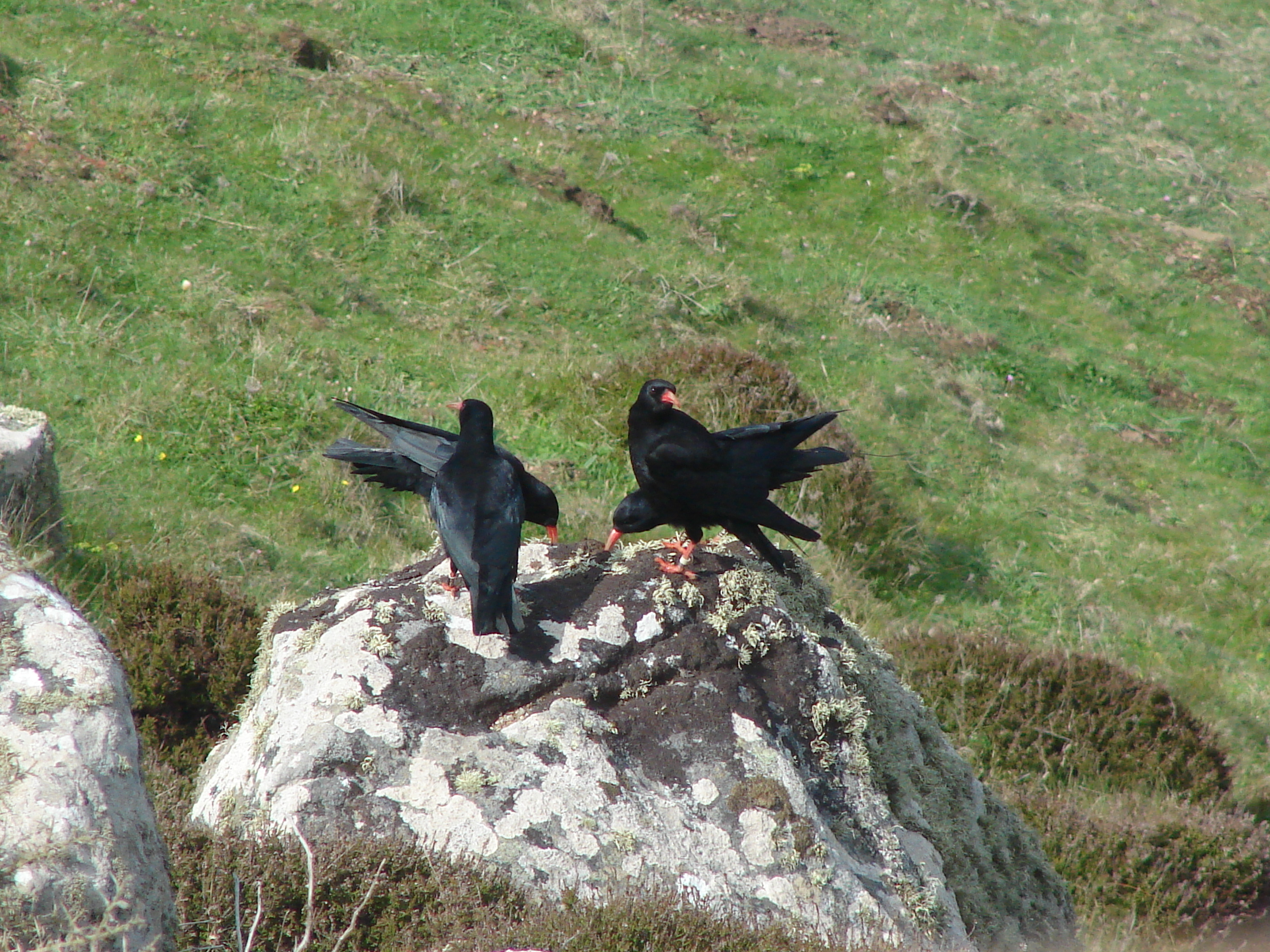 Red-billed choughs at Sorel. Photo by Pierre Rauscher