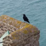 Chough at Mont Orgueil, Gorey, May 2014. Photo by Chris Durbano