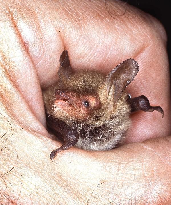 140624 Photo of a Natterer's bat