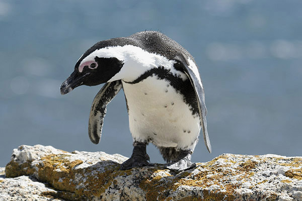 African penguin. Photo by Mick Dryden