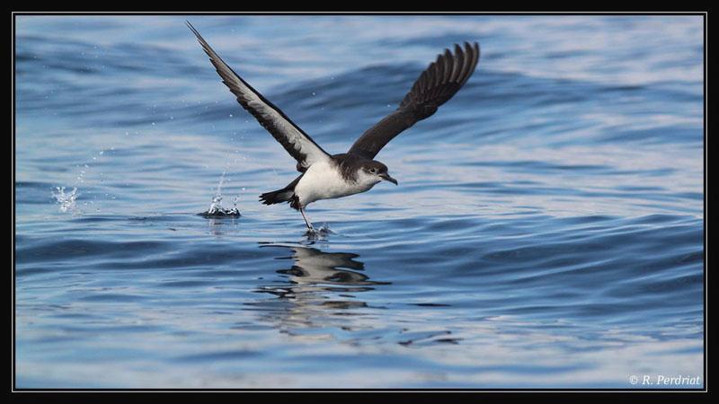 Manx shearwater. Photo by Regis Perdriat (2)