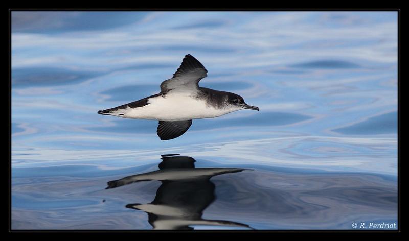 Manx shearwater. Photo by Regis Perdriat