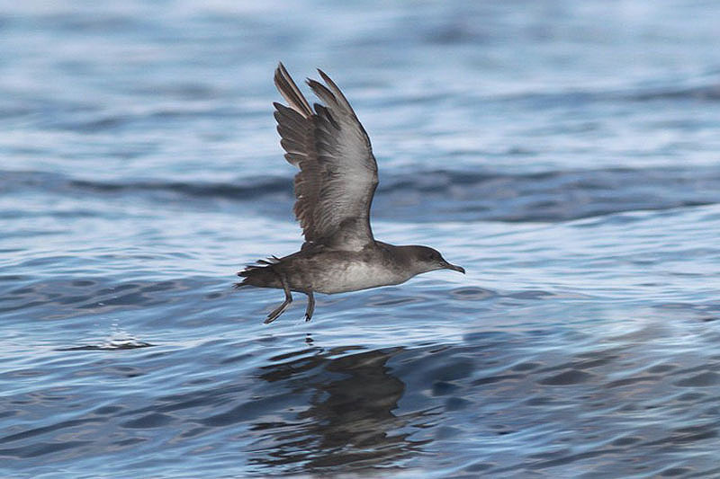 Balearic shearwater (2). Photo by Regis Perdriat