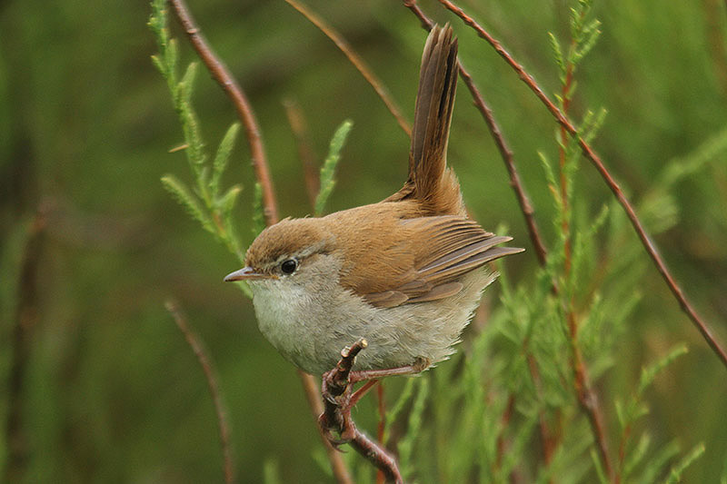 Cetti's warbler. Photo by Mick Dryden
