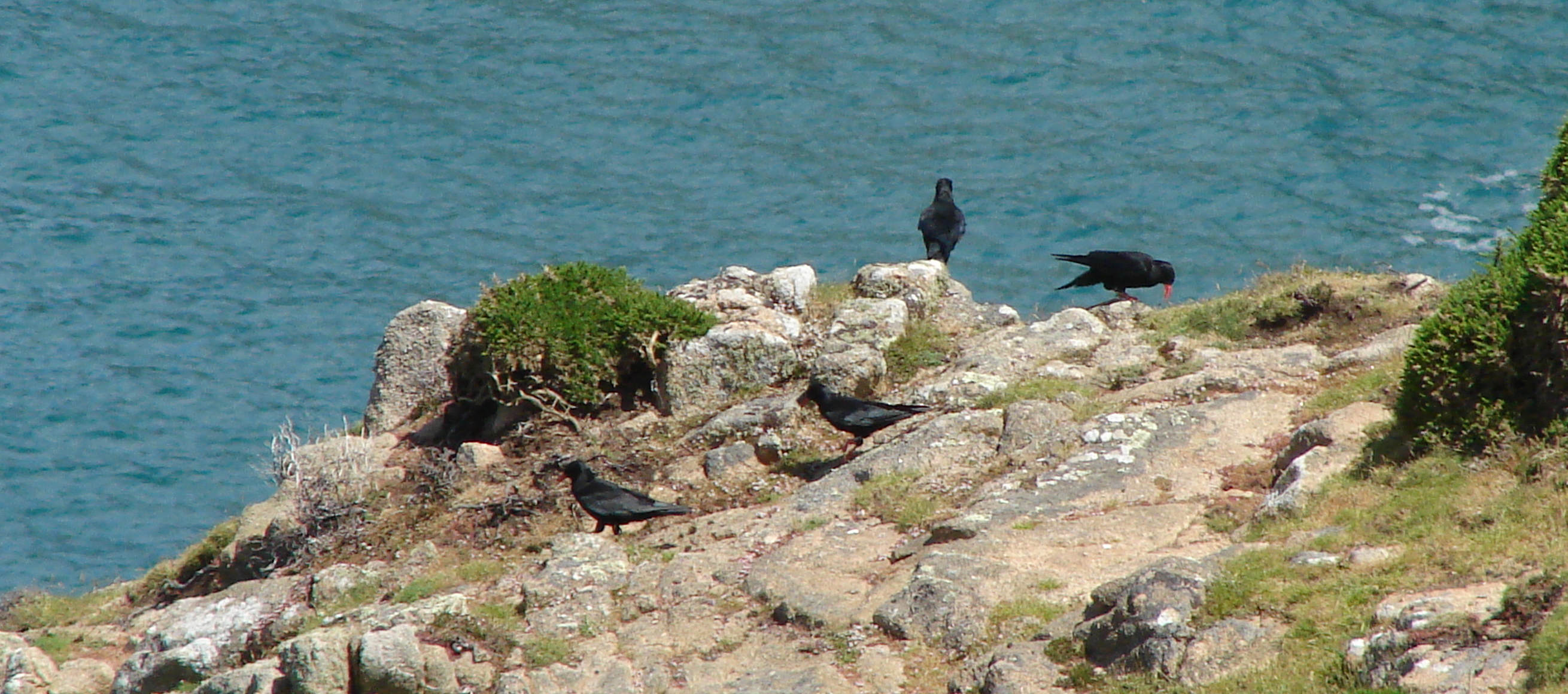 Chough at Sorel. June 2014. Photo by Pierre Rauscher (4)