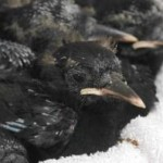 Chough chicks at twenty days old. Photo by Liz Corry