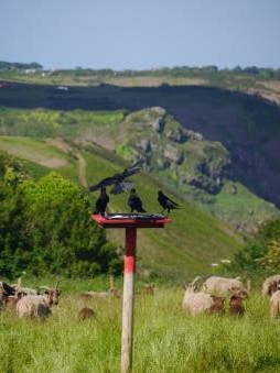 Choughs flying on command to target feed site in amongst the sheep. Photo by Liz Corry