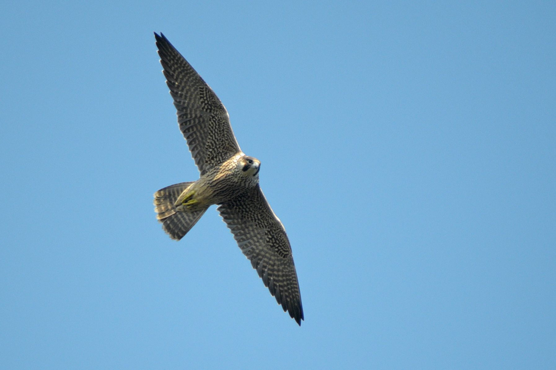Juvenile peregrine. Photo by Romano da Costa