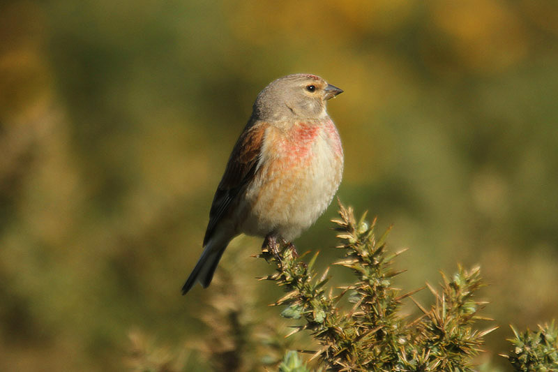 Linnet 2. Photo by Mick Dryden