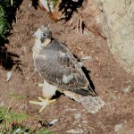 Peregrine chick 2007. Photo by Mick Dryden