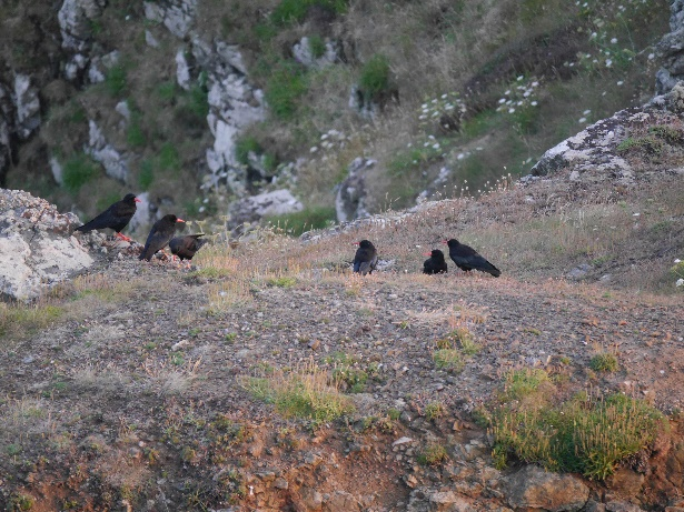 Family of Cornish choughs