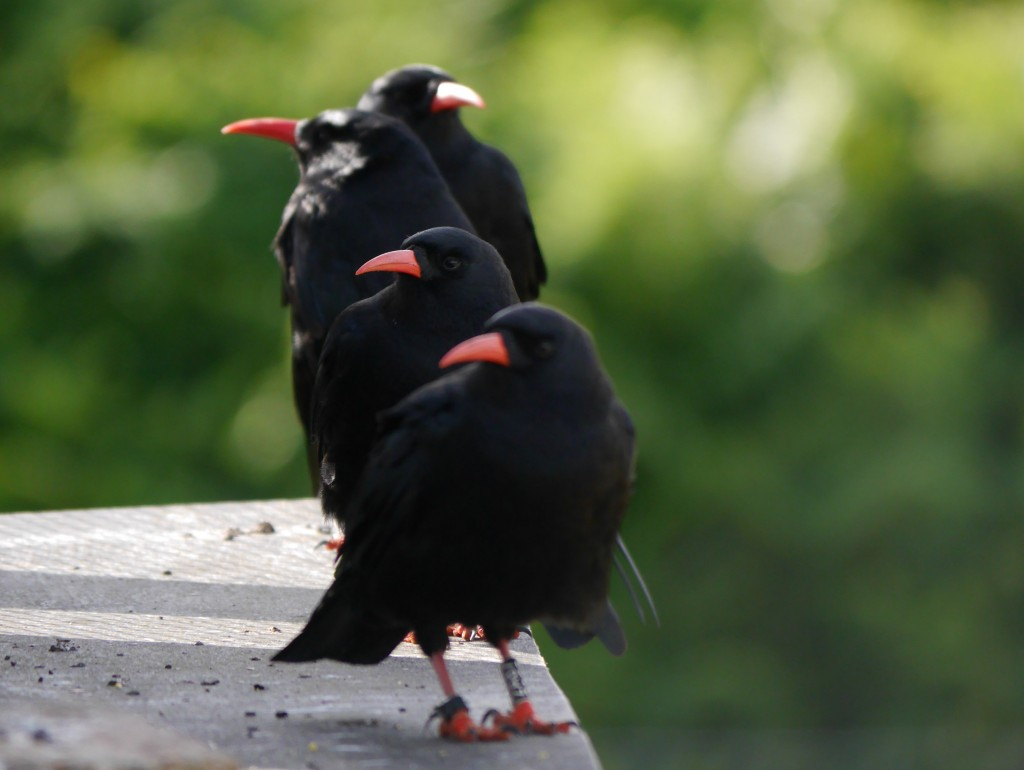 Choughs at the aviary. Photo by Liz Corry