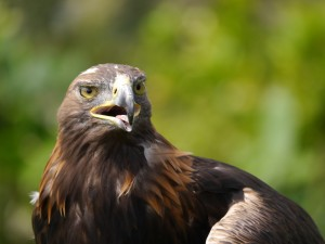 Saffron the golden eagle at Paradise Park. Photo by Liz Corry