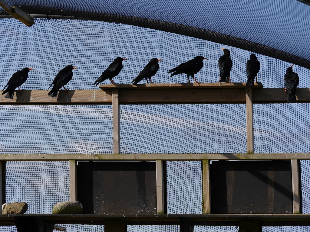 8 out of 10 choughs. Photo by Liz Corry