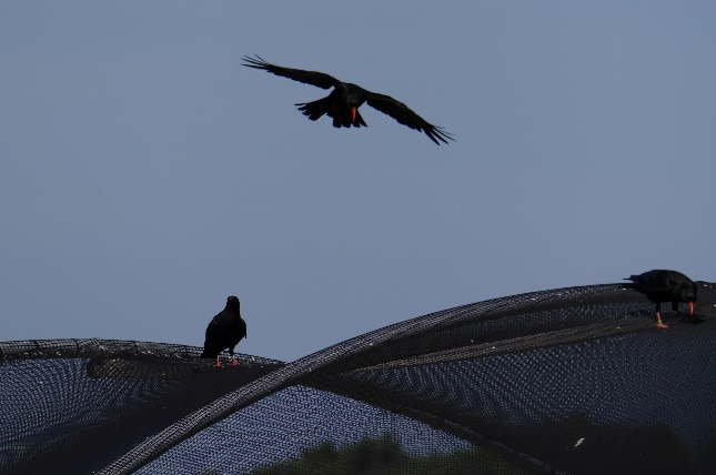 Adults landing at aviary. Notice the missing tail feathers due to their annual moult. Photo by Liz Corry.