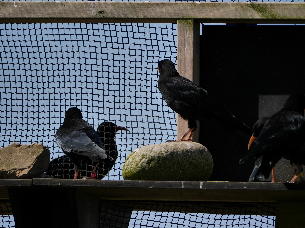 Chicks observing the adults eating mealworms at a training session. Photo by Liz Corry.