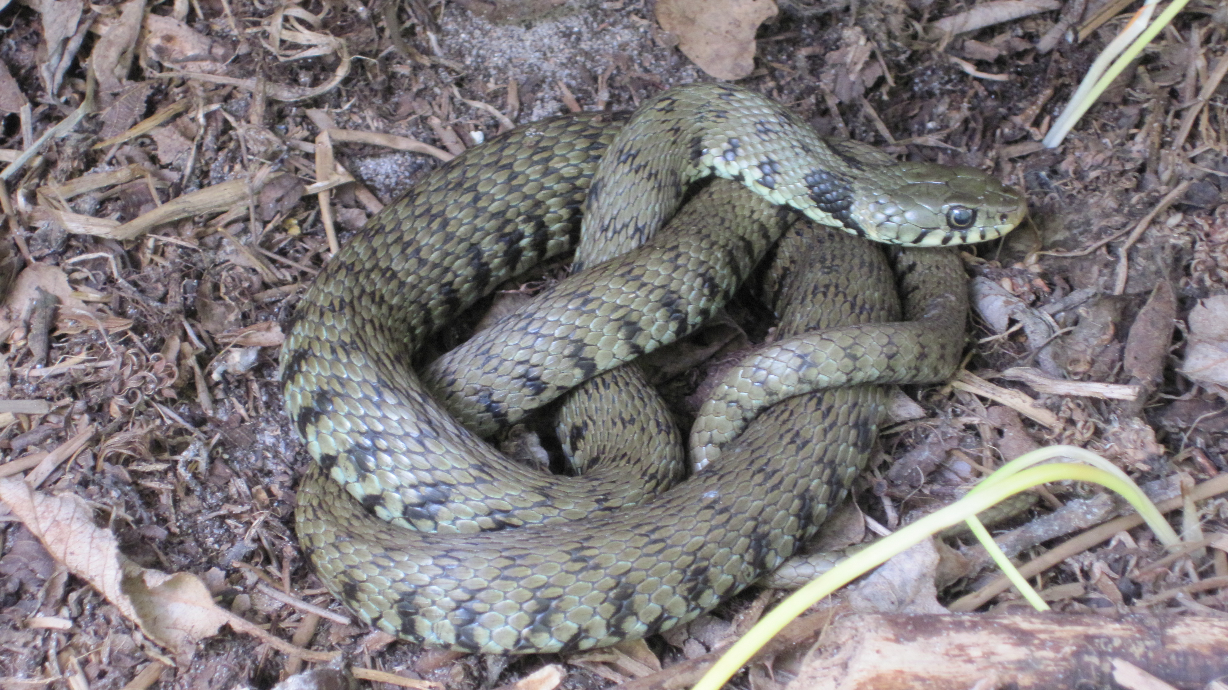 Grass Snake (Natrix natrix) Photo by Henry Glynn
