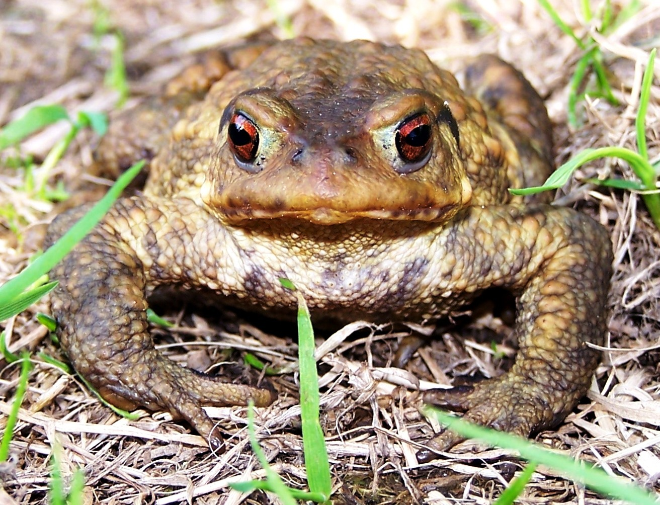 Bufo spinosus male2 JWW