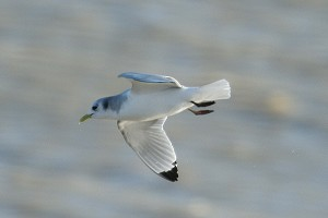 Kittiwake. Photo by Mick Dryden