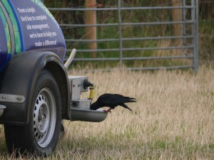 Chough drinking from the sheep's water trough