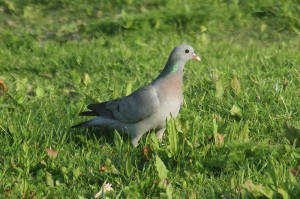 Stock dove. Photo by Mick Dryden
