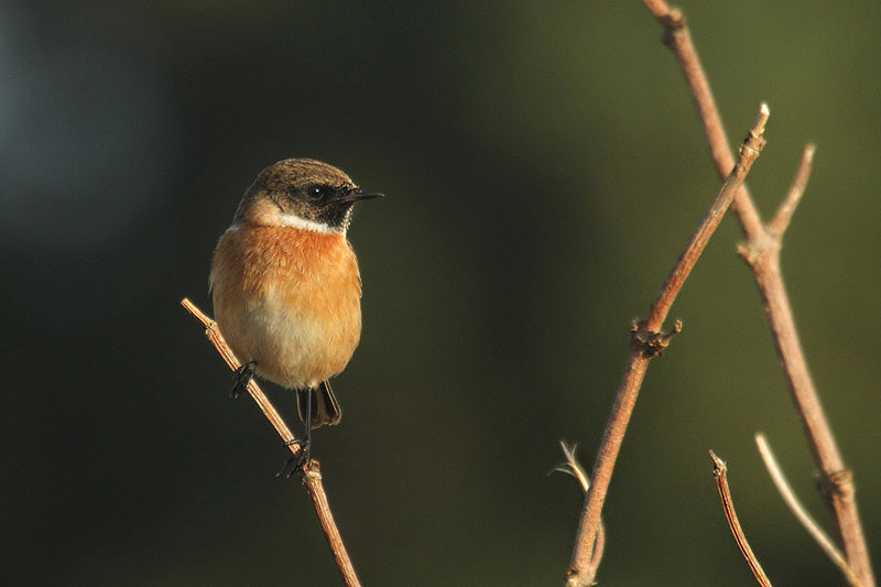 Stonechat (3). Photo by Mick Dryden