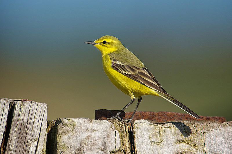 Yellow wagtail. Photo by Paul Marshall