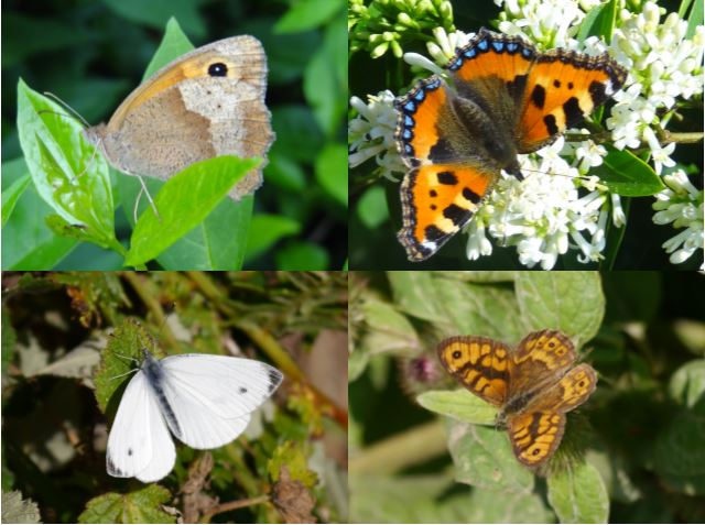 Four common butterfly species found at Sorel. Photos by Liz Corry