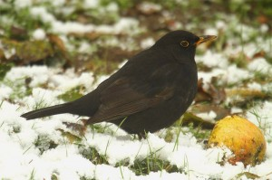Blackbird (2). Photo by Mick Dryden